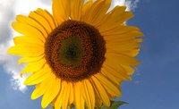 Blüte der Sonnenblume mit Himmel
